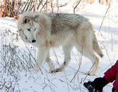 Photografing wolves — Stock Photo