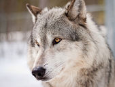 Wolf portrait — Stock Photo