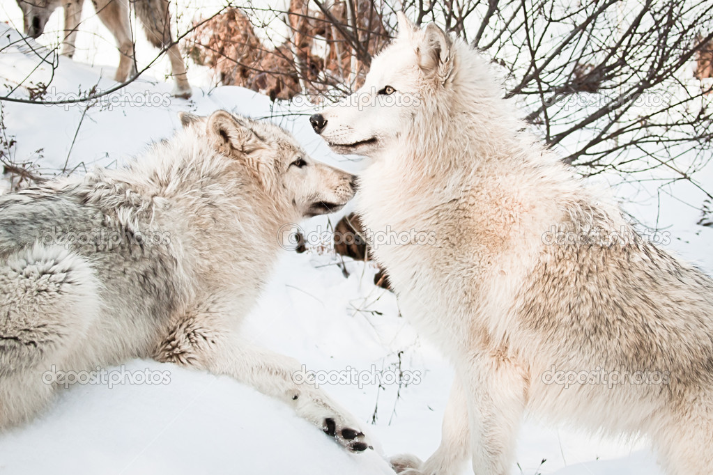 Two female white artic  wolves posing in snow  Stock Photo #8926971
