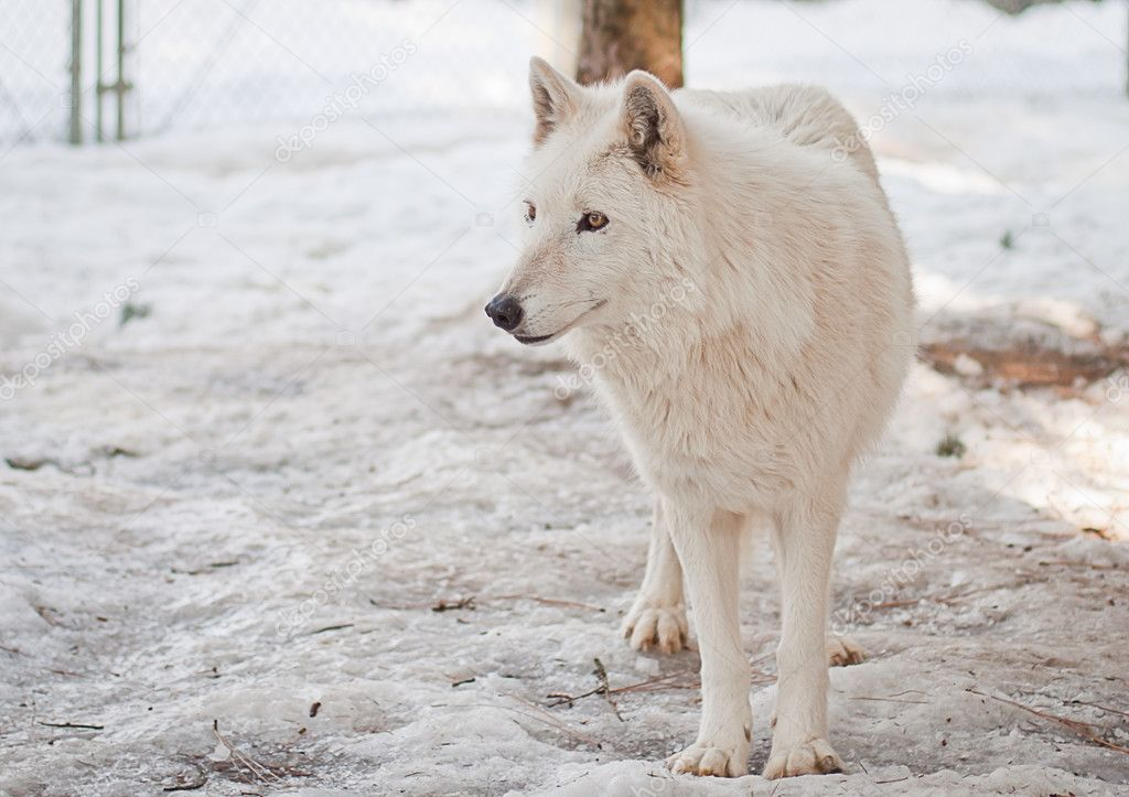 Large female wolf in a large cage with packed snow — Stock Photo #8926985