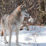 Attentive wolf — Stock Photo