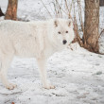 Female wolf — Stock Photo