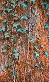 Trunk of the tree with ivy green leaves . — Stockfoto