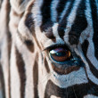 Zebra . - Stock Photo