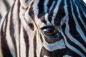 Zebra . — Stock Photo