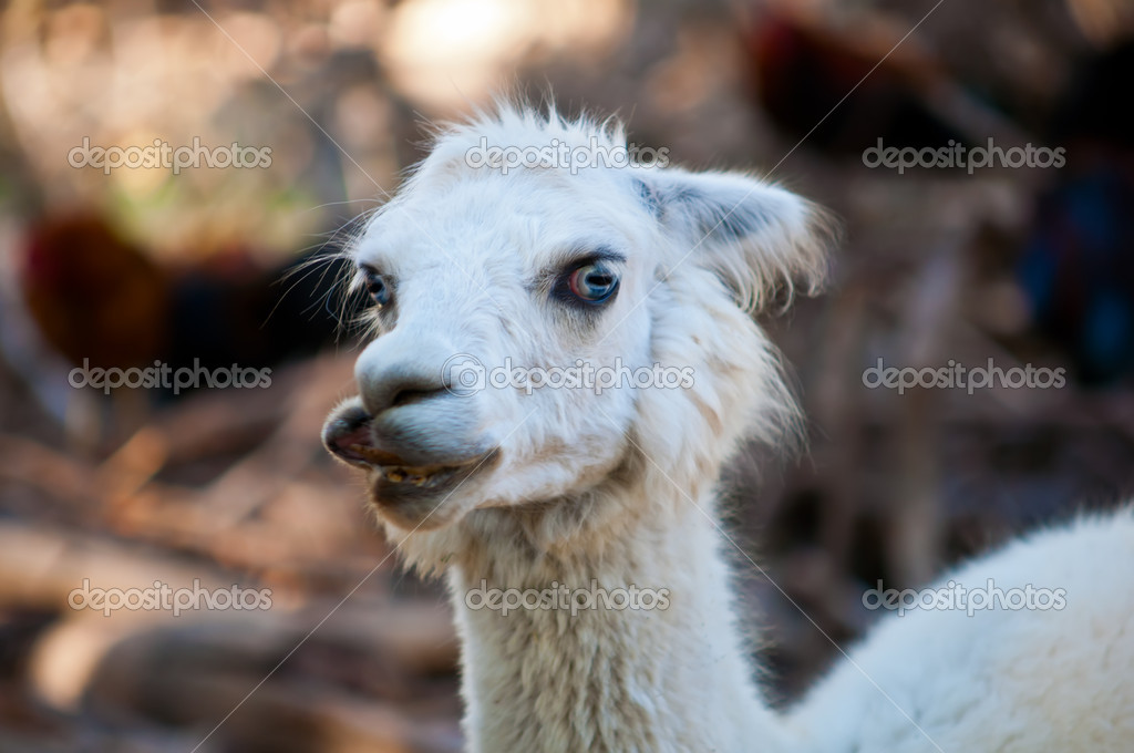 Lama glama pacos ( family of camel ).  Stock Photo #8020925