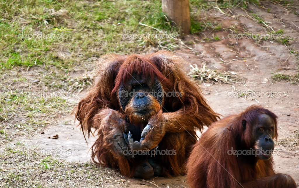 Female and male orangutan . Male orangutan sitting on the ground with outstretched hand. — Stock Photo #8058988