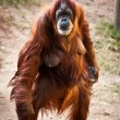 Orangutan . - Stock Photo