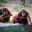 Royalty-Free Stock Photo: Orangutans .