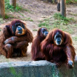 Orangutans . - Stock Photo