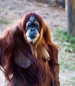 Orangutan . — Foto Stock