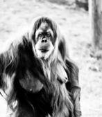 Orangutan . — Zdjęcie stockowe