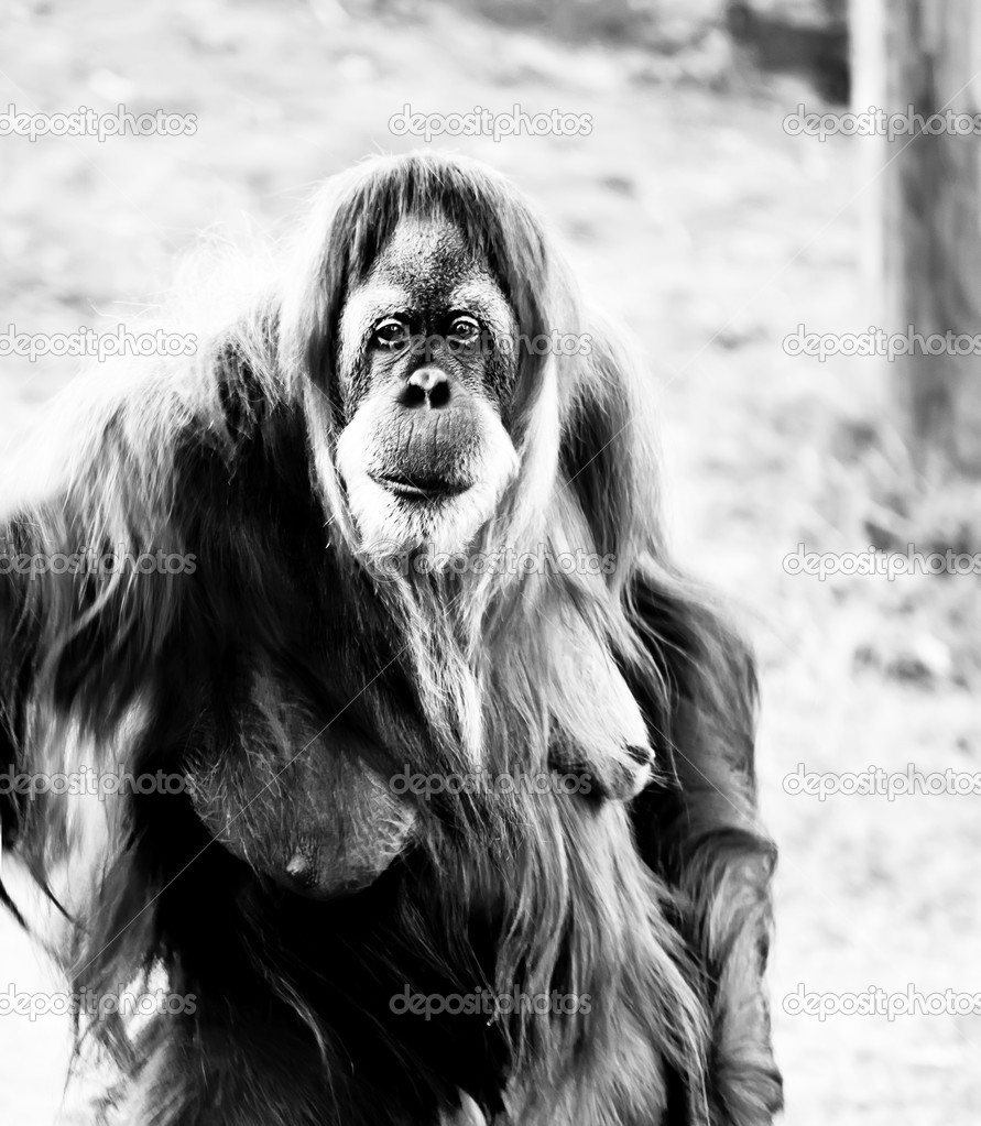 Black &  white image of an adult female orangutan standing . — Stock Photo #8066144