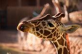 Giraffe . — 图库照片