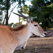 Stock Photo: Eland Antilope .