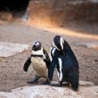 Stock Photo: AfricPenguin .