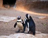 African Penguin . — Stock Photo