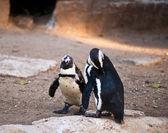 African Penguin . — Stock Photo