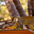 Portrait of a cute squirrel monkey . — Stock Photo