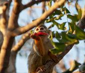 Retrato de un simpático mono ardilla . — Foto de Stock