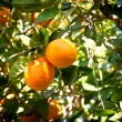 Oranges on tree . — Stock Photo