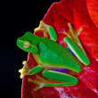 Little green tree frog sitting on red leaf — Stock Photo