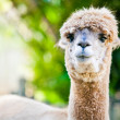 Alpaca portrait on green natural background - Stock Photo