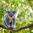 Australian koala in its natural habitat of gumtrees — Stockfoto