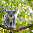 Australian koala in its natural habitat of gumtrees - Stock Photo
