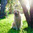 Golden retriever sitting on grass under tree — Stock Photo