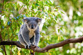Australian koala in its natural habitat of gumtrees — Stock Photo