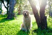 Golden retriever sitting on grass under tree — Stock Photo