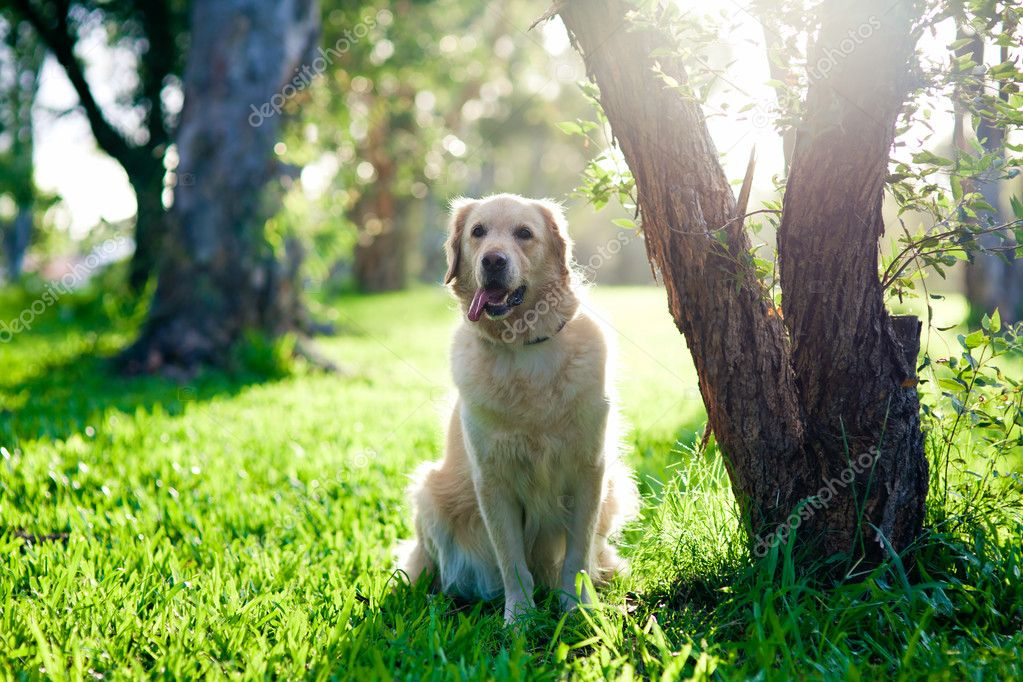 Adult golden retriever sitting on grass under tree — Stock Photo #9186703