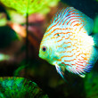 Red tropical Symphysodon discus fish - Stock Photo