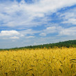 Stock Photo: On meadow wheat grows