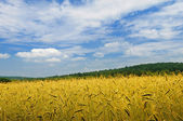 On a meadow wheat grows — Stock Photo