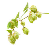 Hops (Humulus lupulus) branch isolated on white background — Stock Photo