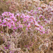 Tiny flowers of limonium - Stock Photo