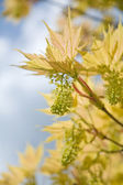 Young maple leaves and flowers, shallow dof — Stock Photo
