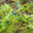 Stock Photo: Bilberry (Vaccinium)
