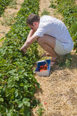 Picking strawberries — Stock Photo