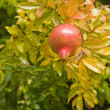 Stock Photo: Ripening pomegranate,