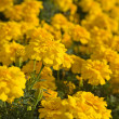 Tagetes (Marigold) - Stock Photo