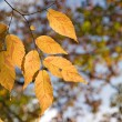 Zelkova serrata (Keyaki) autumn foliage — Stock Photo