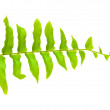 Stock Photo: Tip of fern leaf islated on white background