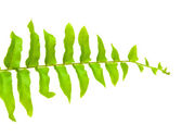 Tip of fern leaf islated on white background — Stock Photo