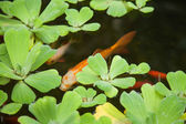 Ornamental pond surface, aquatic plants and goldfish — Stock Photo