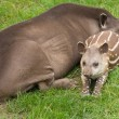 South American Tapir (Tapirus terrestris; Brazilian Tapir; Lowland Tapir; A — Stock Photo #8050418