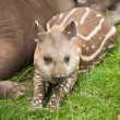 Stock Photo: South AmericTapir (Tapirus terrestris; BraziliTapir; Lowland Tapir; A