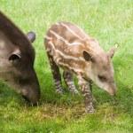 South American Tapir (Tapirus terrestris; Brazilian Tapir; Lowland Tapir; A — Stock Photo